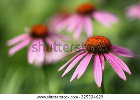 Blooming Echinacea, medicinal herb. - stock photo