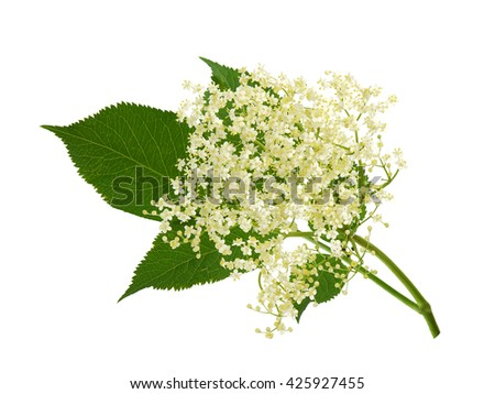 Blooming elder flower, Sambucus nigra - stock photo