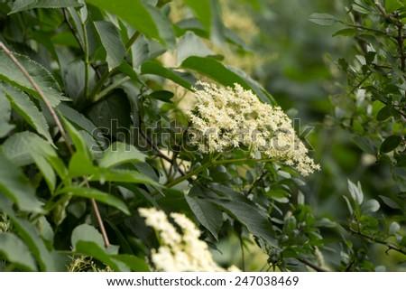 Blooming Elder, Sambucus nigra - stock photo