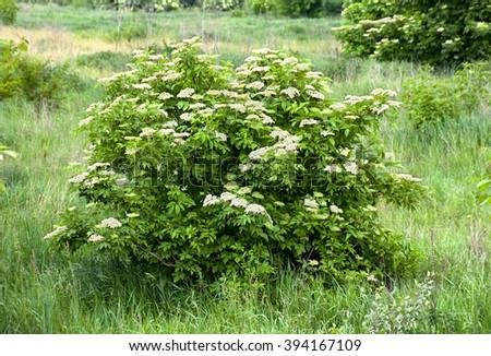 Blooming elderflower in garden (Sambucus nigra) . Common names: elder, elderberry, black elder, European elder, European elderberry and European black elderberry.  - stock photo