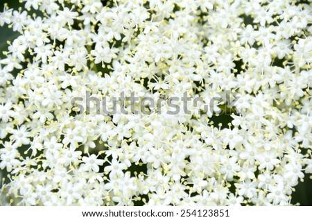 Blooming elderflower (Sambucus nigra). - stock photo