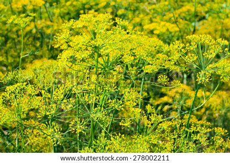 Blooming fennel seeds growing in the garden. Herbs and plants for cooking and medicine - stock photo