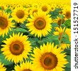 Blooming field of a sunflowers  - stock photo