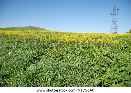 Blooming field of canola with a power line tower in the distance - stock photo