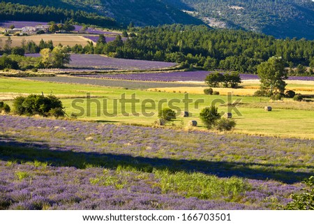 Blooming field of Lavender (Lavandula angustifolia) around Sault and Aurel, in the Chemin des Lavandes, Provence-Alpes-Cote d'Azur, Southern France, France, Europe, PublicGround - stock photo