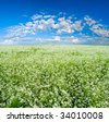 blooming field with blue skies - stock photo