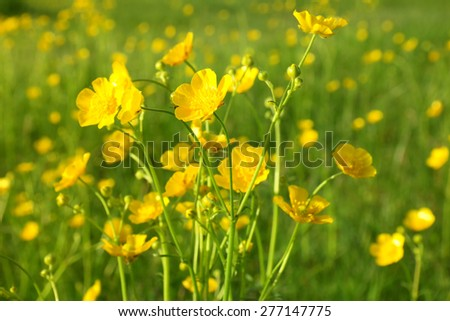 blooming flower in spring, buttercup, crowfoot, ranunculus - stock photo