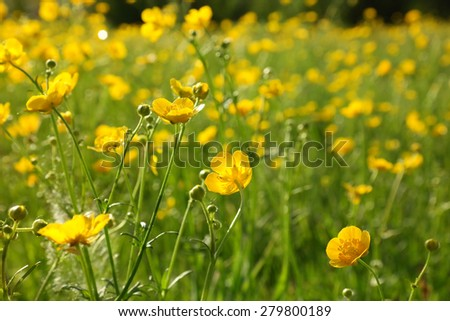 blooming flower in spring, buttercup, crowfoot, ranunculus - stock photo