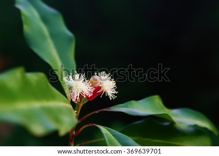 Blooming  flowers and fresh green and red raw sticks growing on clove tree in Bali mountains. Tropical plants, natural food spices, producing aromatic ingredients and oil in Indonesian plantations. - stock photo