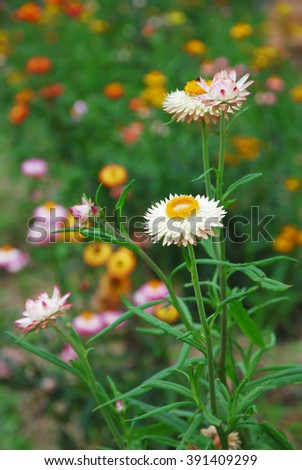 Blooming flowers in the garden. Selective focus and color filter. - stock photo