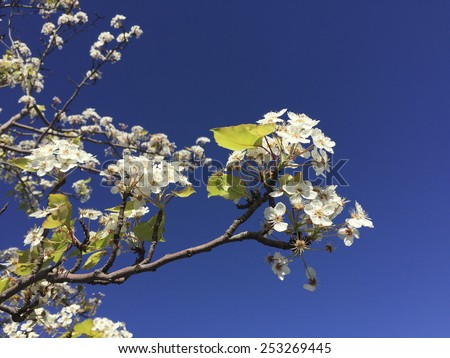 Blooming flowers of California cherry tree in later winter, Southern California - stock photo