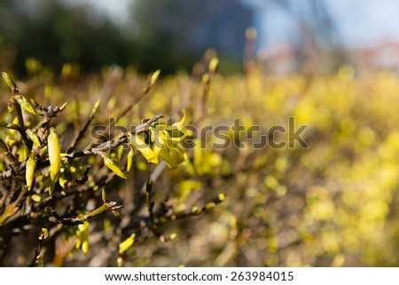 Blooming forsythia flowers on bushes selective focus - stock photo