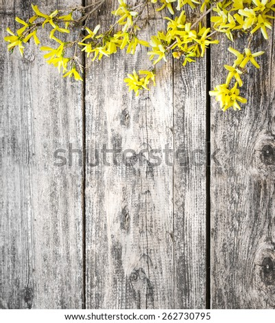 Blooming Forsythia/Spring background with yellow flowers tree brunches - stock photo