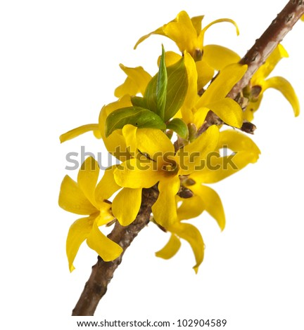 blooming forsythia , spring flower isolated on white - stock photo