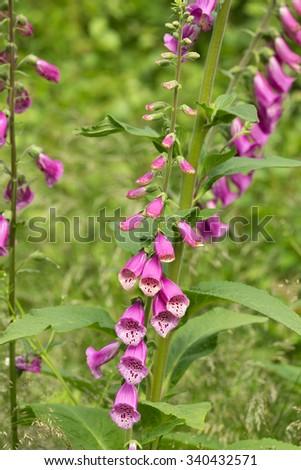 Blooming foxglove, Digitalis purpurea  - stock photo
