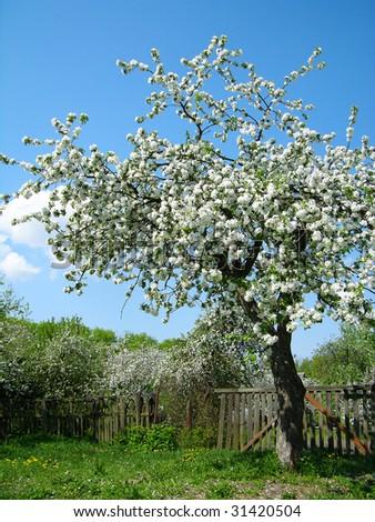 Blooming fruit tree - stock photo