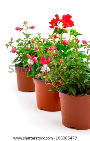 blooming fuchsia and geranium in the pot, isolated on a white background - stock photo