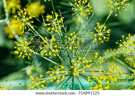 Blooming Garden Dill