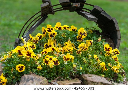 Blooming Garden Pansy Flower - stock photo