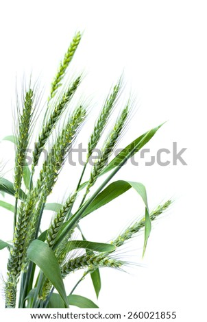 Blooming green ears of wheat on a white background