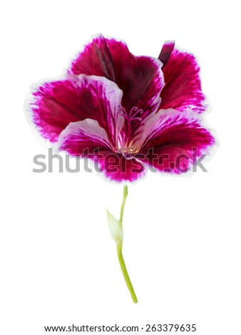 blooming head of purple geranium flower is isolated on white background - stock photo