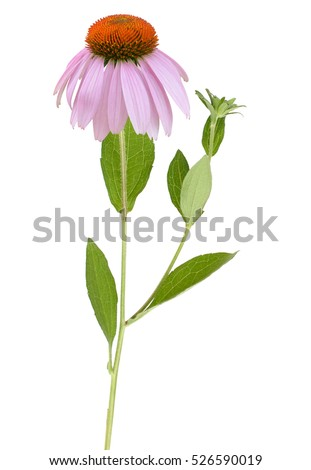 Blooming herb echinacea purpurea or coneflower isolated on white background