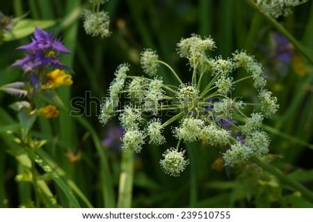 Blooming Hogweed (Heracleum) closeup - stock photo