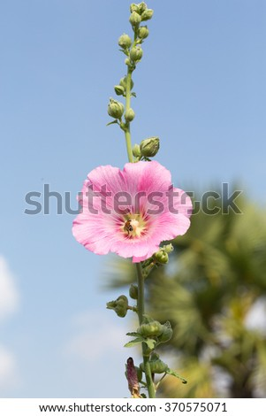 blooming hollyhocks with bee  - stock photo