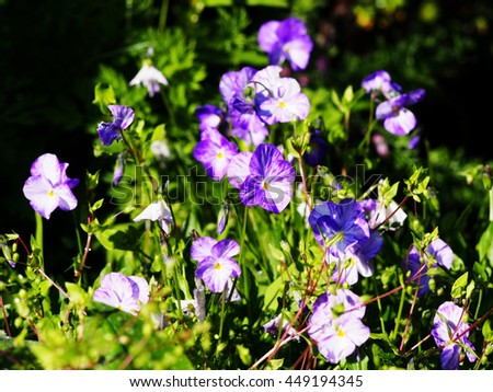 Blooming Horned pansy (Viola cornuta 'Rebecca') in the garden.  - stock photo