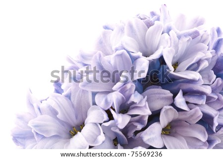 blooming hyacinth  isolated  on a white background - stock photo