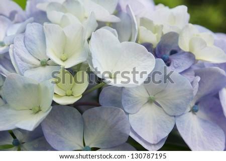 blooming Hydrangea - stock photo
