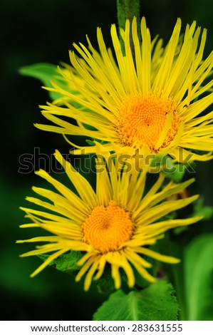 Blooming Inula hirta - stock photo