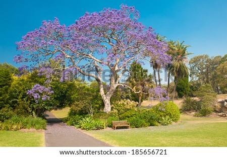 Blooming jacaranda tree in the park, Sydney, New South Wales, Australia - stock photo