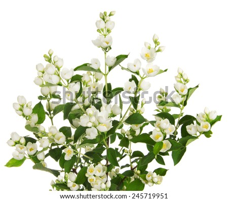 Blooming jasmine branch with flowers isolated on white background - stock photo
