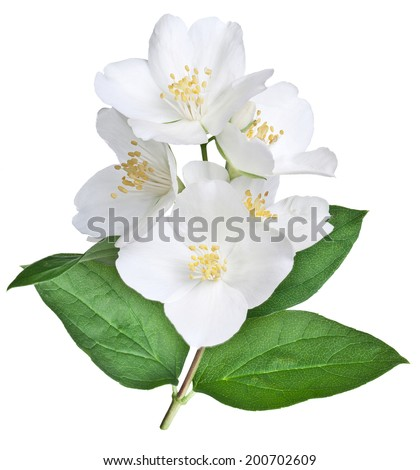 Blooming jasmine flower with leaves isolated on a white background. Clipping path. - stock photo