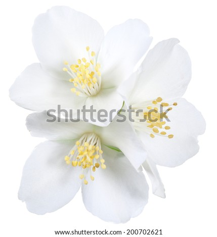 Blooming jasmine flowers. File contains clipping path. - stock photo