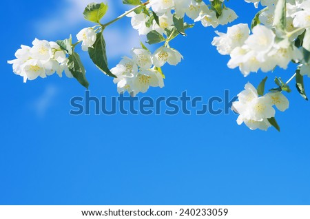 Blooming jasmine on a background of blue sky - stock photo