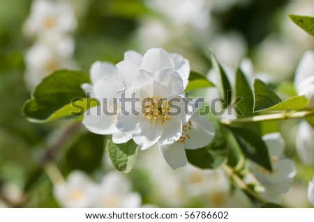 blooming jasmine on a bright sunny day - stock photo