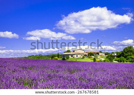 blooming lavander fields in Provence, France - stock photo