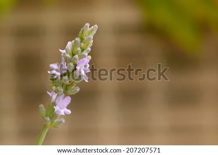 blooming lavender - stock photo
