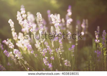 Blooming lavender backlit - stock photo