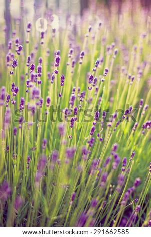 Blooming lavender in the garden - stock photo
