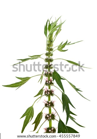 Blooming Leonurus cardiaca or motherwort on a white background. Other names: throw-wort, lion's ear, lion's tail. - stock photo