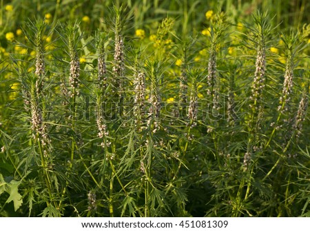 Blooming Leonurus in sunset light background, motherwort, throw-wort, lion's ear, Leonotis nepetifolia, medicinal plant - stock photo