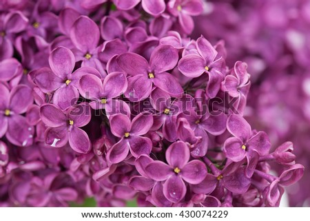 Blooming lilac, background