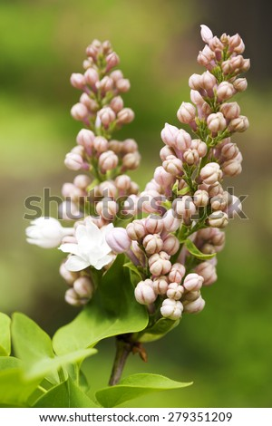 Blooming lilac branch. Selective focus. Shallow depth of field - stock photo