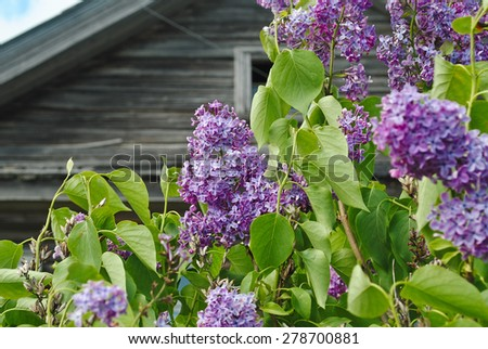 Blooming lilac bush on a wooden background - stock photo