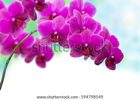 Blooming lilac orchid with bandlet isolated, white background