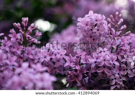 blooming lilacs. lilac flowers. lilac branches. purple flowers - stock photo