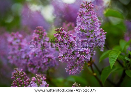 Blooming lilacs purple spring on a clear day. Selective focus - stock photo